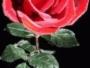 Το Αηδόνι και το Τριαντάφυλλο (OSCAR WILDE)